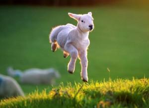 spring-lamb-2